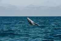 Humpback Whale breaching in sea waves against sky 11100046876| 写真素材・ストックフォト・画像・イラスト素材|アマナイメージズ