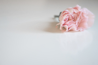 High angle view of pink carnation flower on white background 11100048109| 写真素材・ストックフォト・画像・イラスト素材|アマナイメージズ