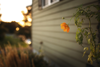 Cosmos flower growing by house in backyard during sunset 11100059402| 写真素材・ストックフォト・画像・イラスト素材|アマナイメージズ