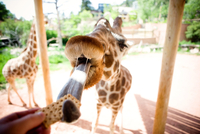 Cropped hand of woman feeding giraffe