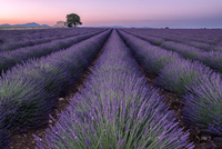 Scenic view of lavender field against sky during sunset 11100070590| 写真素材・ストックフォト・画像・イラスト素材|アマナイメージズ