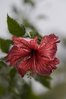 Close-up of wet hibiscus blooming outdoors 11100073194| 写真素材・ストックフォト・画像・イラスト素材|アマナイメージズ