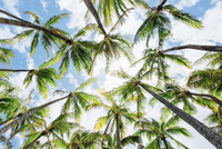 Low angle view of palm trees growing against cloudy sky 11100074387| 写真素材・ストックフォト・画像・イラスト素材|アマナイメージズ