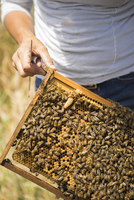 Cropped image of beekeeper holding honeycomb frame at field 11100077724| 写真素材・ストックフォト・画像・イラスト素材|アマナイメージズ