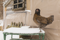 Close-up of hen on snow covered table against barn 11100079755| 写真素材・ストックフォト・画像・イラスト素材|アマナイメージズ