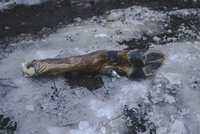 Close-up of dead animal leg on snowy land