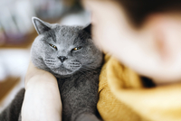 Cropped image of woman holding Chartreux cat while sitting at home 11100092769| 写真素材・ストックフォト・画像・イラスト素材|アマナイメージズ