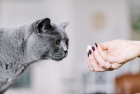 Cropped hand of woman feeding Chartreux cat at home 11100092772| 写真素材・ストックフォト・画像・イラスト素材|アマナイメージズ
