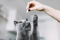 Cropped hand of woman playing with Chartreux cat at home 11100092773| 写真素材・ストックフォト・画像・イラスト素材|アマナイメージズ