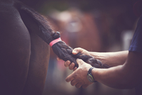 Cropped hands of man tying horse tail at barn 11100094518| 写真素材・ストックフォト・画像・イラスト素材|アマナイメージズ