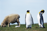 King penguins (Aptenodytes patagonicus) sharing their territory with a sheep, Volunteer Point, East Falkland, South Atlantic 11104006576| 写真素材・ストックフォト・画像・イラスト素材|アマナイメージズ