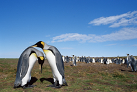 King penguins (Aptenodytes patagonicus) in mating ritual, Volunteer Point, East Falkland, South Atlantic 11104006581| 写真素材・ストックフォト・画像・イラスト素材|アマナイメージズ