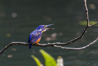An adult azure kingfisher (Alcedo azurea) swallowing a fish on the Daintree River, Daintree rain Forest, Queensland