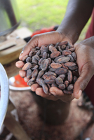 Cacao (cocoa) beans freshly harvested and ready for making into chocolate, Belize 11104014546| 写真素材・ストックフォト・画像・イラスト素材|アマナイメージズ