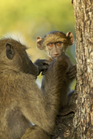 Infant chacma baboon (Papio ursinus) being groomed, Kruger National Park 11104016989| 写真素材・ストックフォト・画像・イラスト素材|アマナイメージズ