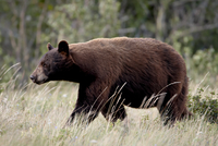 Black bear (Ursus americanus), Waterton Lakes National Park, Alberta