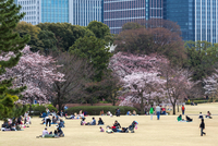 People relaxing and picnicking amongst the beautiful cherry blossom in Tokyo Imperial Palace East Gardens, Tokyo, Japan 11104021492| 写真素材・ストックフォト・画像・イラスト素材|アマナイメージズ