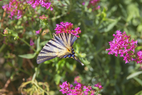 Scarce swallowtail butterfly (Iphiclides podalirius) flying over flowers, Vernazza, Cinque Terre, Liguria, Italy, Europe 11104028744| 写真素材・ストックフォト・画像・イラスト素材|アマナイメージズ