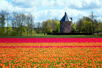 Colourful tulips in Holland, The Netherlands, Europe 11104029443| 写真素材・ストックフォト・画像・イラスト素材|アマナイメージズ