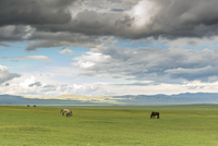 Horses grazing on the Mongolian steppe under a cloudy sky, South Hangay, Mongolia, Central Asia, Asia 11104029816| 写真素材・ストックフォト・画像・イラスト素材|アマナイメージズ