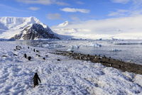 Gentoo penguins (Pygoscelis papua) and stunning scenery, early morning sun and mist, Neko Harbour, Graham Land, Antarctica, Pola 11104030379| 写真素材・ストックフォト・画像・イラスト素材|アマナイメージズ