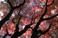 Glorious autumn leaf colour in the Japanese maple trees in Ginkakuji (Silver Pavilion) Zen temple garden, Kyoto, Japan, Asia 11104030428| 写真素材・ストックフォト・画像・イラスト素材|アマナイメージズ