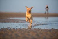 Dog and owner on Camber Sands, Rye, East Sussex, England, United Kingdom, Europe 11104031438| 写真素材・ストックフォト・画像・イラスト素材|アマナイメージズ