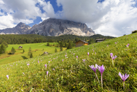 Flowering of autumnal Crocus nivea, La Valle (La Val) (Wengen), Badia Valley, South Tyrol, Dolomites, Italy, Europe