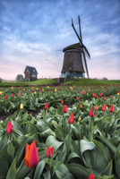 View of multicolored fields of tulips and windmills at spring Berkmeer Koggenland North Holland Netherlands Europe 11108001074| 写真素材・ストックフォト・画像・イラスト素材|アマナイメージズ