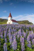 Vik i Myrdal, Southern Iceland. Fields of lupins in bloom and the town church. 11108001921| 写真素材・ストックフォト・画像・イラスト素材|アマナイメージズ