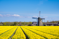 Netherlands, South Holland, Nordwijkerhout. Yellow Dutch tulip filed, tulips in front of a windmill in early spring. 11108002888| 写真素材・ストックフォト・画像・イラスト素材|アマナイメージズ