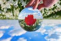 Cropped Hand Holding Crystal Ball With Reflection Of Red Tulip 11115029211| 写真素材・ストックフォト・画像・イラスト素材|アマナイメージズ