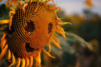 Close-up Of Sunflower With Smiley Face Outdoors 11115030712| 写真素材・ストックフォト・画像・イラスト素材|アマナイメージズ