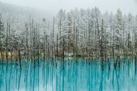 Bare Trees In Blue Pond With Reflection During Snowfall 11115042100| 写真素材・ストックフォト・画像・イラスト素材|アマナイメージズ