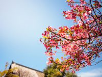 Low Angle View Of Pink Flower Tree Against Clear Sky 11115054000| 写真素材・ストックフォト・画像・イラスト素材|アマナイメージズ
