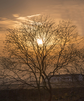 One of the old withered vine trees in the west at sunset 11116006424| 写真素材・ストックフォト・画像・イラスト素材|アマナイメージズ