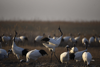 Yancheng, Jiangsu: Red-crowned Cranes in the Morning
