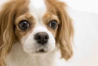 キャバリア犬 28204000008| 写真素材・ストックフォト・画像・イラスト素材|アマナイメージズ