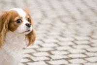 路上のキャバリア犬 28204000047| 写真素材・ストックフォト・画像・イラスト素材|アマナイメージズ