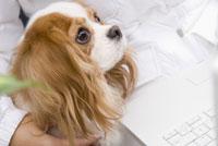 キャバリア犬 28204000061| 写真素材・ストックフォト・画像・イラスト素材|アマナイメージズ