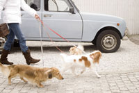 散歩中の犬 28204000062| 写真素材・ストックフォト・画像・イラスト素材|アマナイメージズ