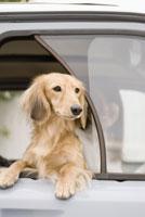 車窓のミニチュアダックスフント 28204000067| 写真素材・ストックフォト・画像・イラスト素材|アマナイメージズ