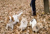 落ち葉の上の犬 28204000076| 写真素材・ストックフォト・画像・イラスト素材|アマナイメージズ