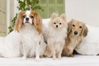 ソファに座る犬達 28204000124| 写真素材・ストックフォト・画像・イラスト素材|アマナイメージズ