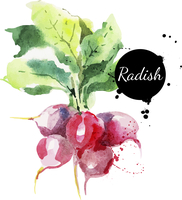 Radish with leaf. Hand drawn watercolor painting on white background. Vector illustration 60016001446| 写真素材・ストックフォト・画像・イラスト素材|アマナイメージズ