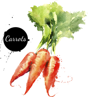Carrots. Hand drawn watercolor painting on white background. Vector illustration 60016001471| 写真素材・ストックフォト・画像・イラスト素材|アマナイメージズ
