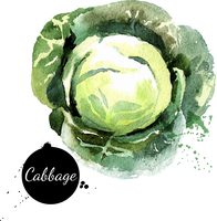 Cabbage. Hand drawn watercolor painting on white background. Vector illustration 60016001478| 写真素材・ストックフォト・画像・イラスト素材|アマナイメージズ