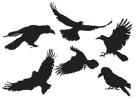 Vector illustration collection of crow silhouette in different flight positions 60016008967| 写真素材・ストックフォト・画像・イラスト素材|アマナイメージズ