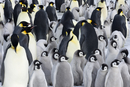 Emperor penguin (Aptenodytes forsteri), chicks in colony, Snow Hill Island, Weddell Sea, Antarctica, Polar Regions