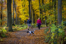 A couple walking dogs on a path through beech woodland in autumn.